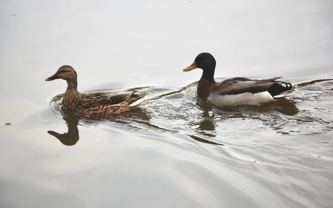 Difference between wild and farm raised ducks