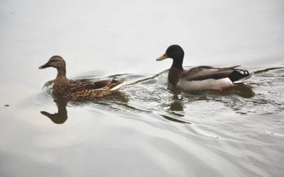 The difference between wild and farm raised duck